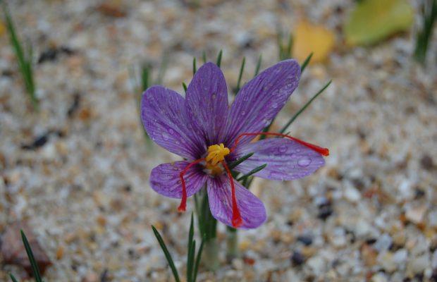 Crocus sativus en pleine floraison (octobre) - © A. Pierronnet