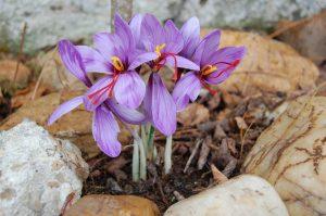La floraison se déroule d'octobre à début novembre - © A. Pierronnet