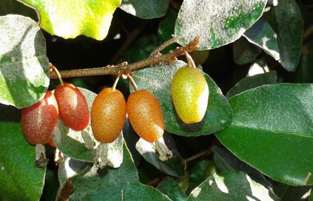 Elaeagnus x ebbingei possède des fruits très attrayants - © N. Dorion