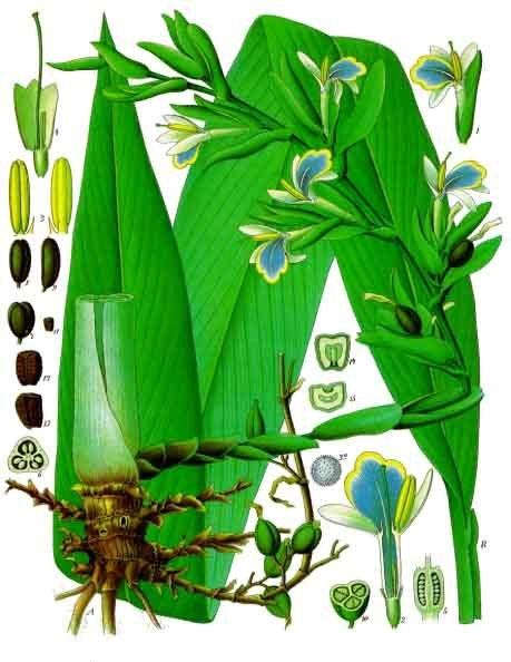 Elettaria cardamomum © D.R.