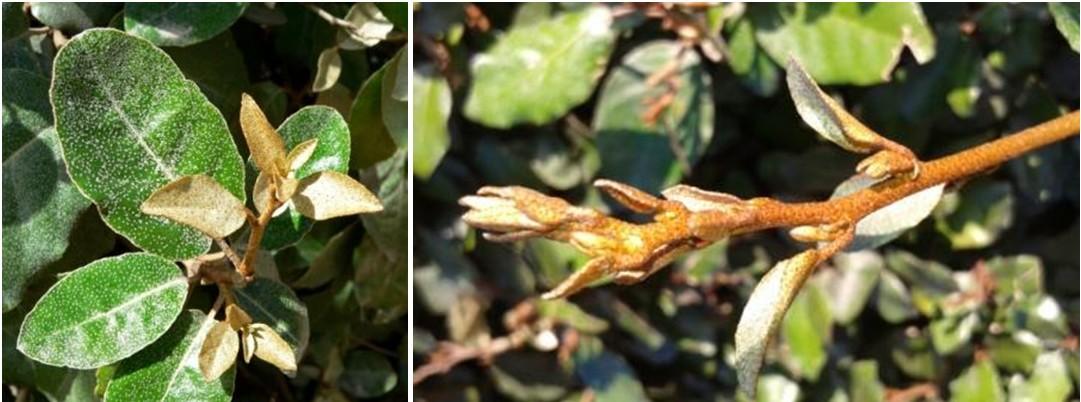 Elaeagnus x ebbingei, détail du feuillage (à gauche, - © Stan Shebs) et de l'extrémité d'un rameau (© N. Dorion)