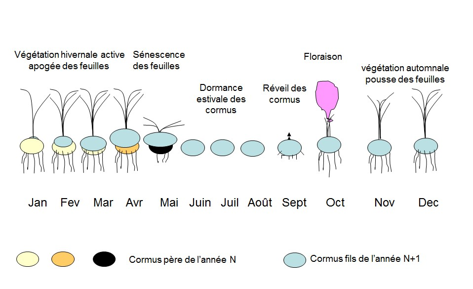 Figure 1 – Cycle de végétation de Crocus sativus