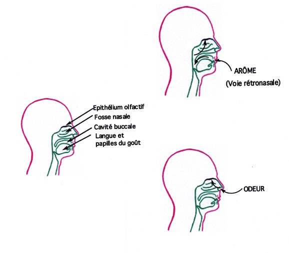 Schéma de la détection des arômes et des odeurs par la cavité buccale et les fosses nasales