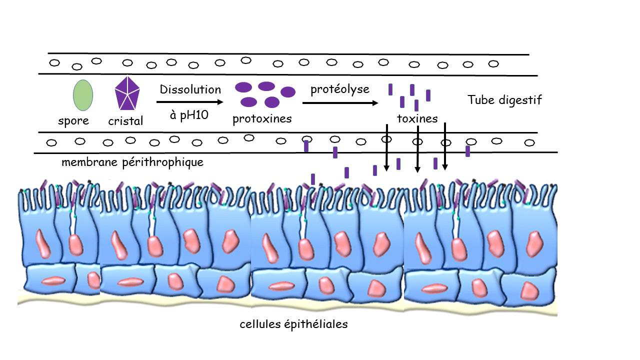 Figure 2 : schéma simplifié du mode d'action de Bacillus thuringiensis dans l'intestin des lépidoptères. Après ingestion d'un mélange de spores et de cristaux. Le pH alcalin de l'intestin entraîne la solubilisation de ces derniers et conduit à la libération des molécules de protoxine ; celles-ci sont ensuite activées par les protéases intestinales de l'insecte. Les toxines activées peuvent alors traverser la membrane péritrophique et aller se fixer spécifiquement sur des récepteurs présents à la surface de l'épithélium intestinal, provoquant la paralysie du tube digestif et la lyse des cellules épithéliales. La baisse du pH intestinal, consécutive à la lyse cellulaire, crée des conditions favorables à la germination des spores (non représenté). Il est vraisemblable que la septicémie due à la multiplication de Bt puisse optimiser l'effet toxique des ∂-endotoxines chez certains insectes. NB : le schéma n'est pas à l'échelle.