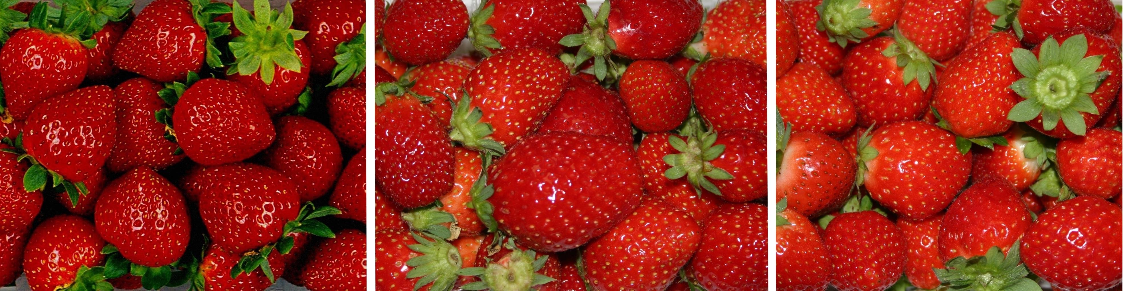 De gauche à droite : les variétés de fraises Charlotte, Cirafine et Mara des Bois