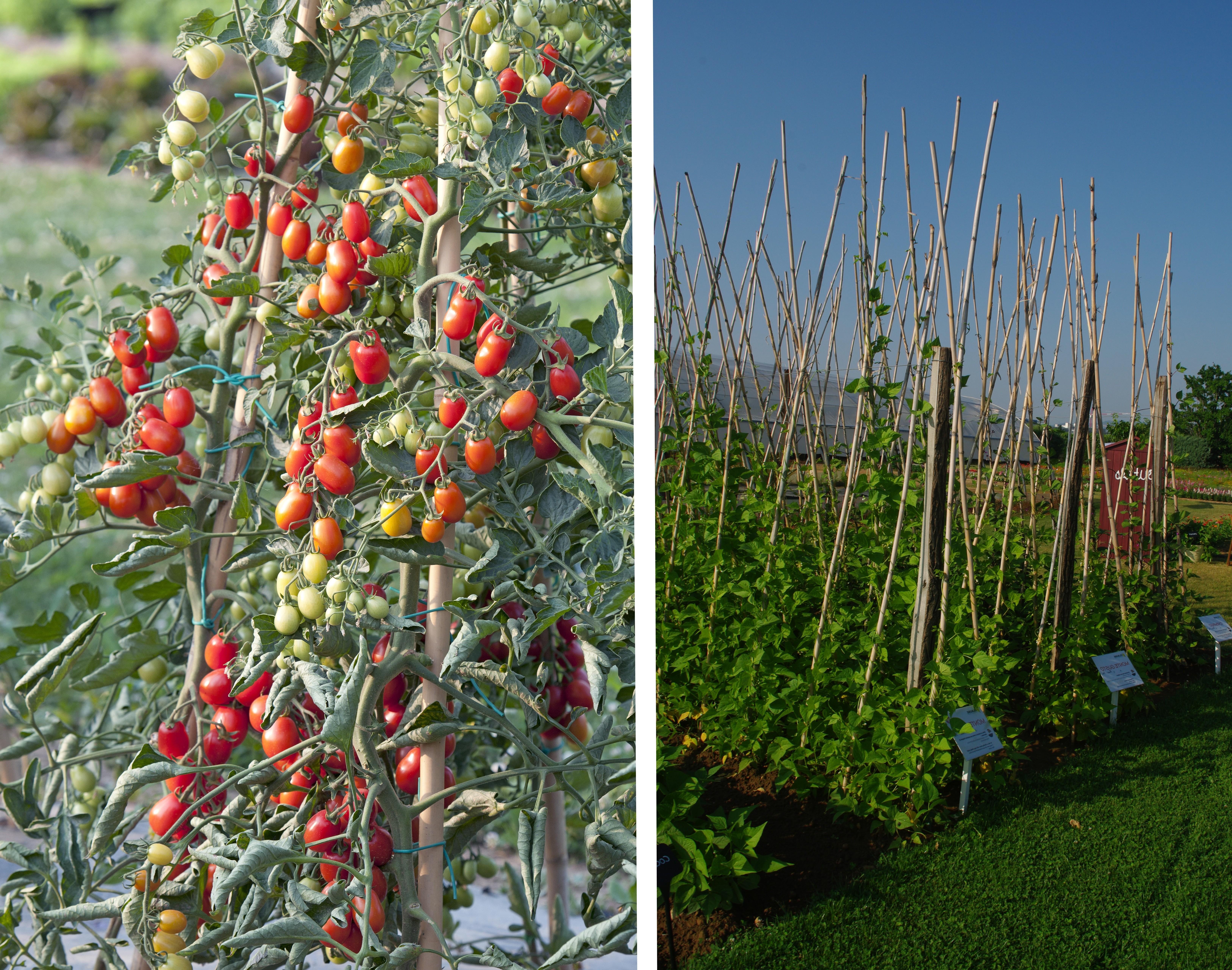 Les Italiens utilisent des cannes pour faire grimper les tomates © HM. Clause Les haricots grimpent aussi pour soulager les reins des jardiniers et dissimuler des espaces inesthétiques - © HM. Clause