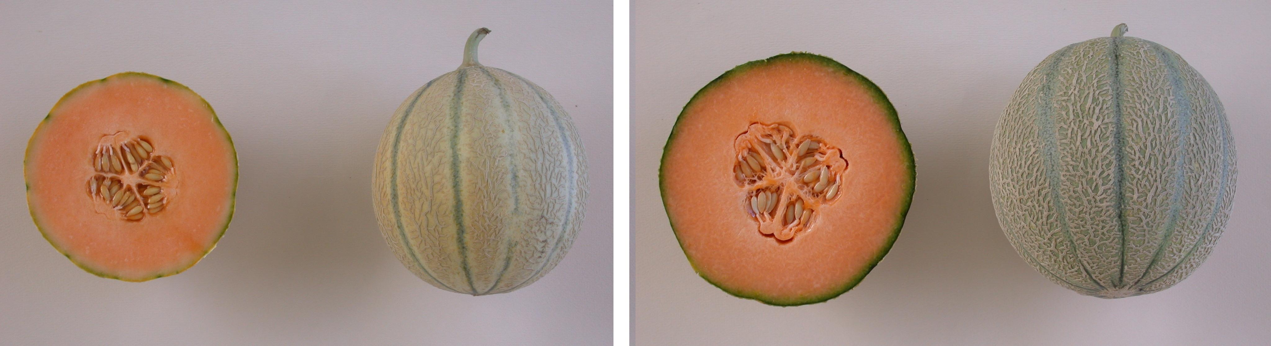 """Les melons de type """"charentais non jaunissant"""" (à droite) ont une durée de conservation après récolte supérieure aux """"charentais jaunissant"""" (à gauche) mais au détriment de la richesse aromatique. Les deux types ont la même teneur en sucres - © G. Seisson/GEVES"""