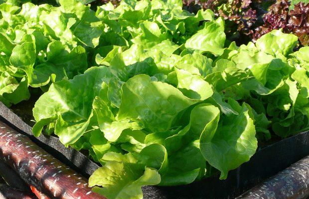 Mix Salades pour Laitue