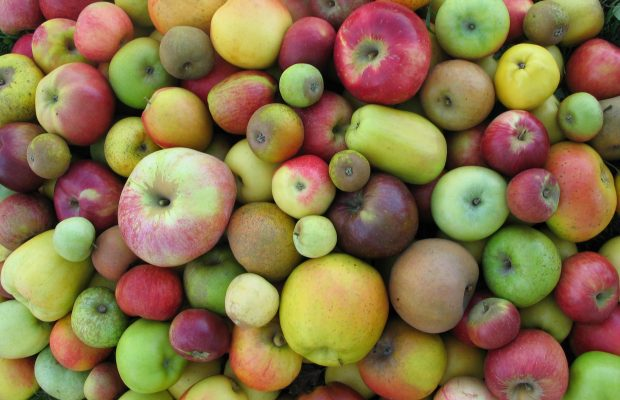 Les variétés anciennes de pomme offrent une diversité de formes et de couleurs - © L. Feugey, INRA-Angers.