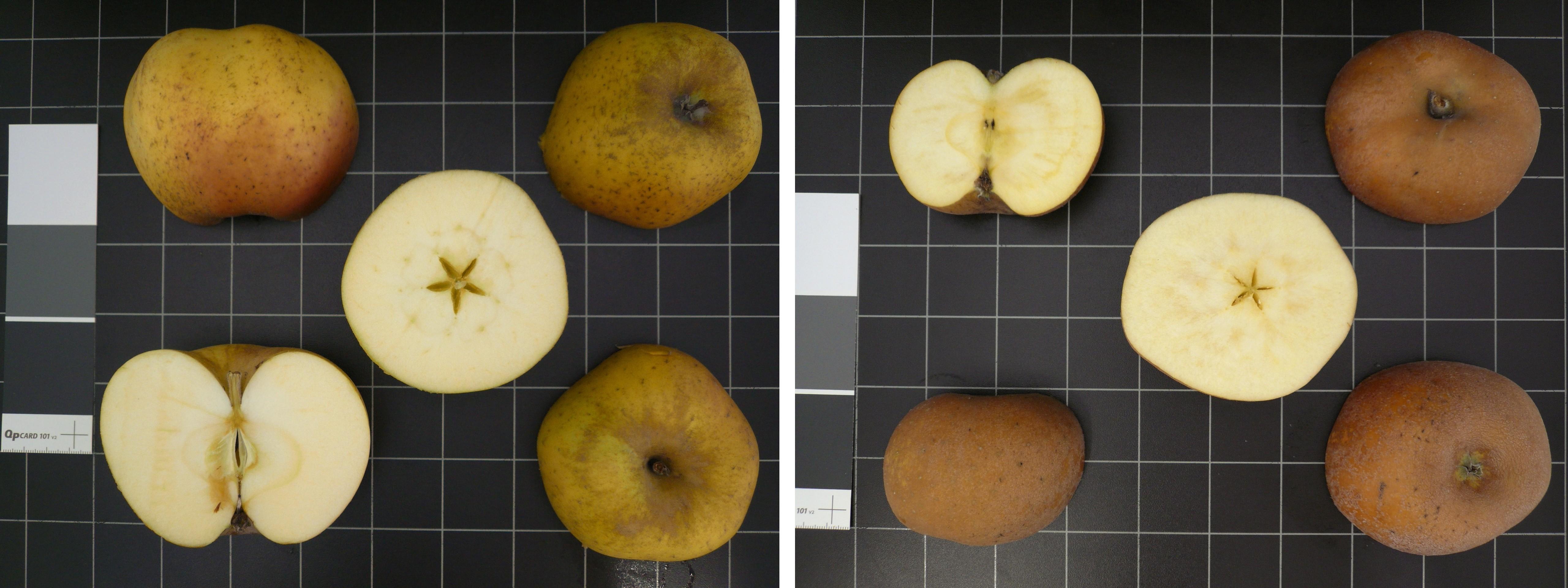 Ces deux variétés, 'Reinette Blanche du Canada' (à gauche) et 'Reinette de Brovouhels' (à droite), présentent le même profil génétique et sont donc issue du même individu à l'origine. On voit cependant nettement une différence de russeting au niveau des fruits (mutation au niveau de l'épiderme). Ces deux variétés sont triploïdes comme l'atteste l'absence de pépins dans les loges carpellaires - © A. Guyader, INRA-Angers.