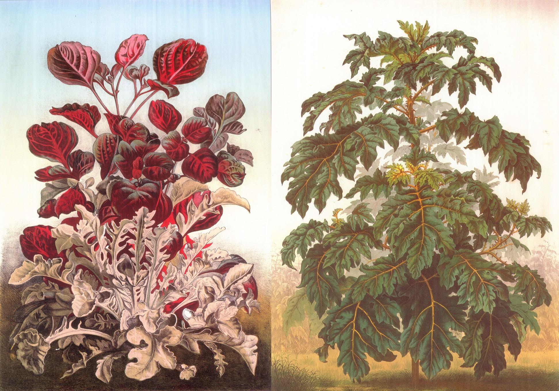 Ces gravures (à gauche Centaurea candidissima et Iresine Herbstii, à droite Solanum Warscewiczii), tirées de l'ouvrage d'Alphand « Les promenades de Paris », illustrent la mode, à son époque, aux « végétaux à grand feuillage, aux coloris plus ou moins excentriques », comme le rapportait Louis Neumann, responsable des serres du Muséum. - © D.R.