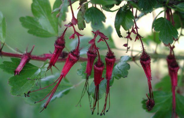 Ribes speciosum - © D. Lejeune