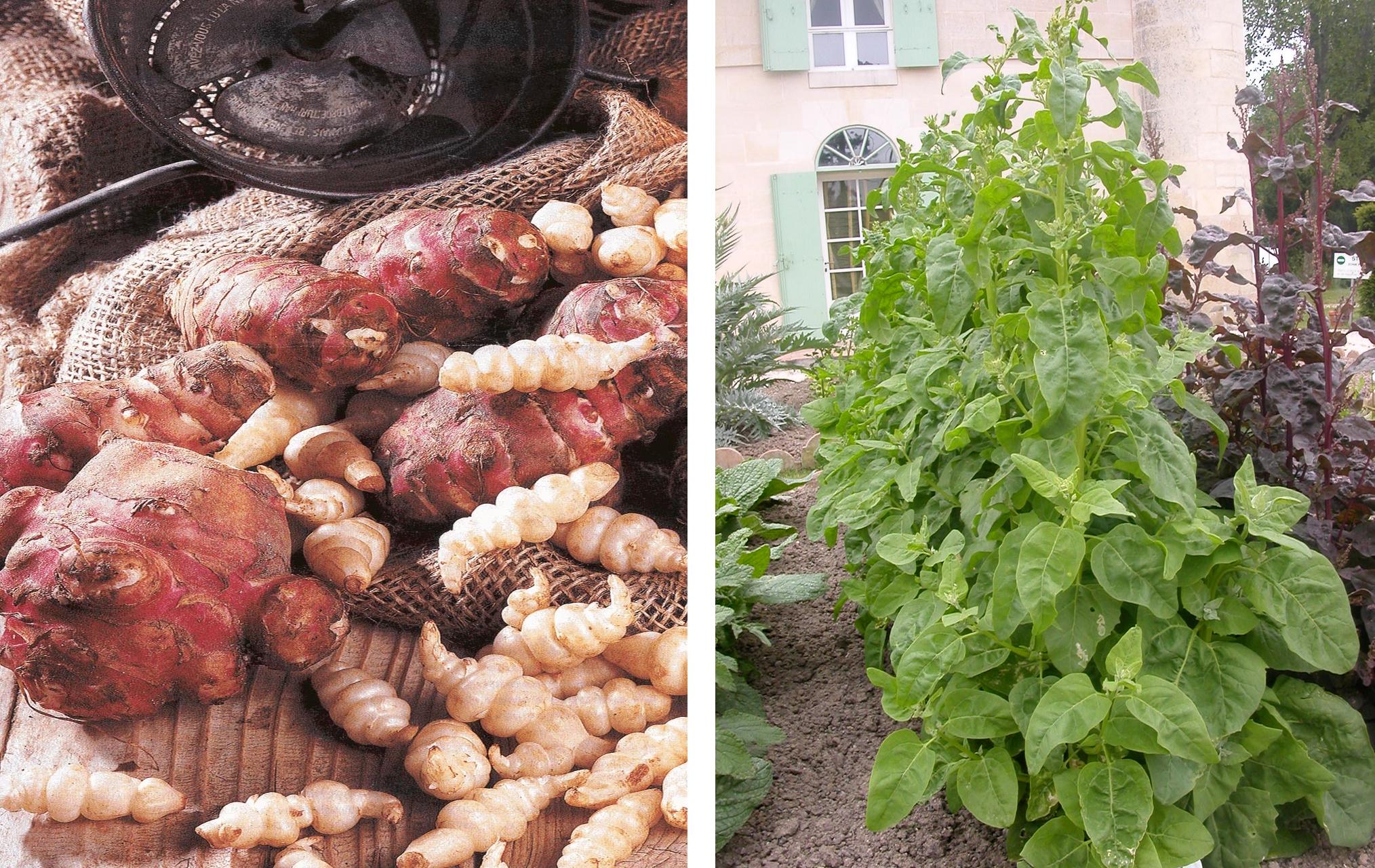 Topinambour et Crosnes - © Oh ! Légumes Oubliés (à gauche) Arroche verte - © Oh ! Légumes Oubliés (à droite)