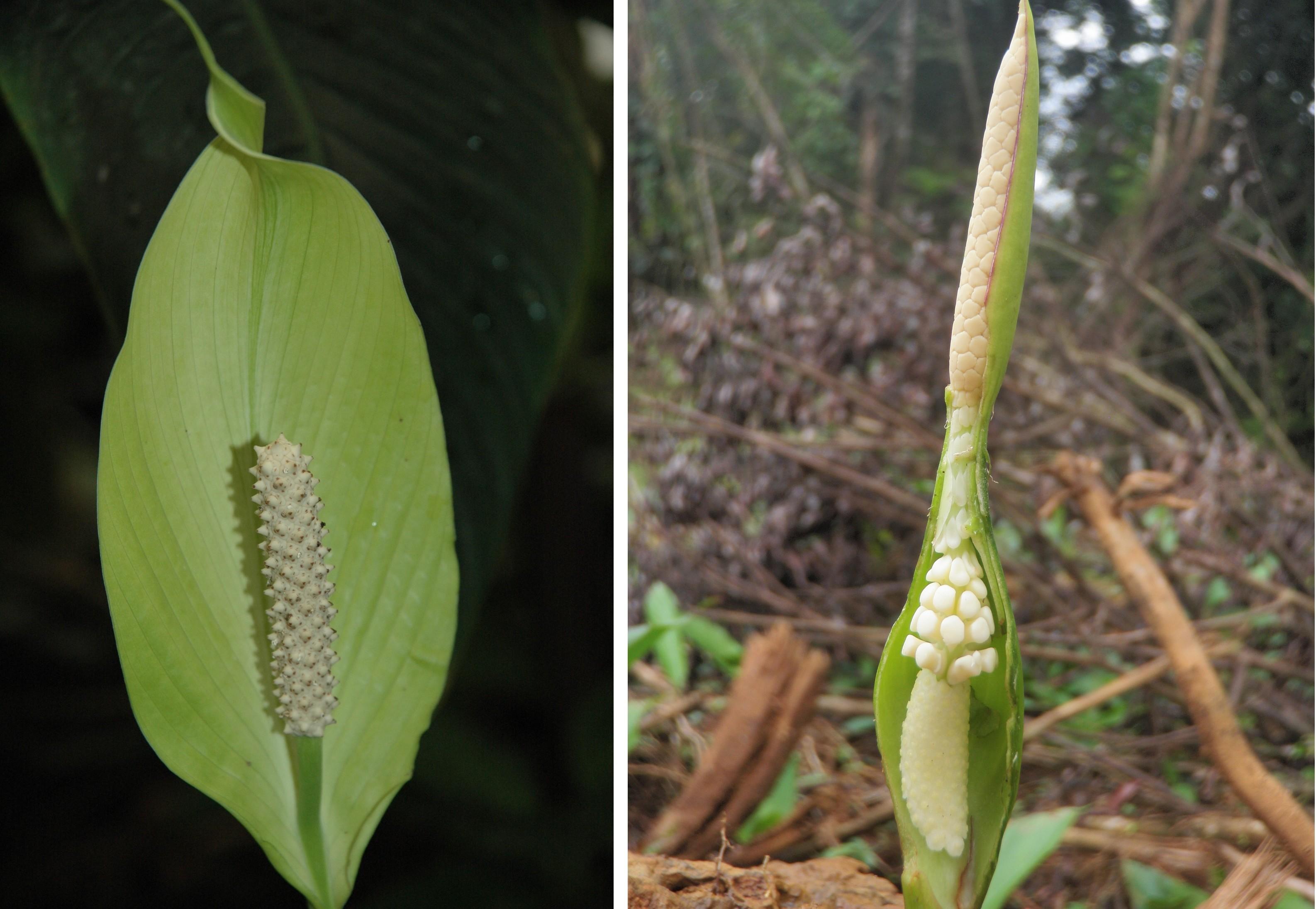 Spathiphyllum - © M. Giberneau (à gauche) Xanthosoma sp - © M. Giberneau (à droite)