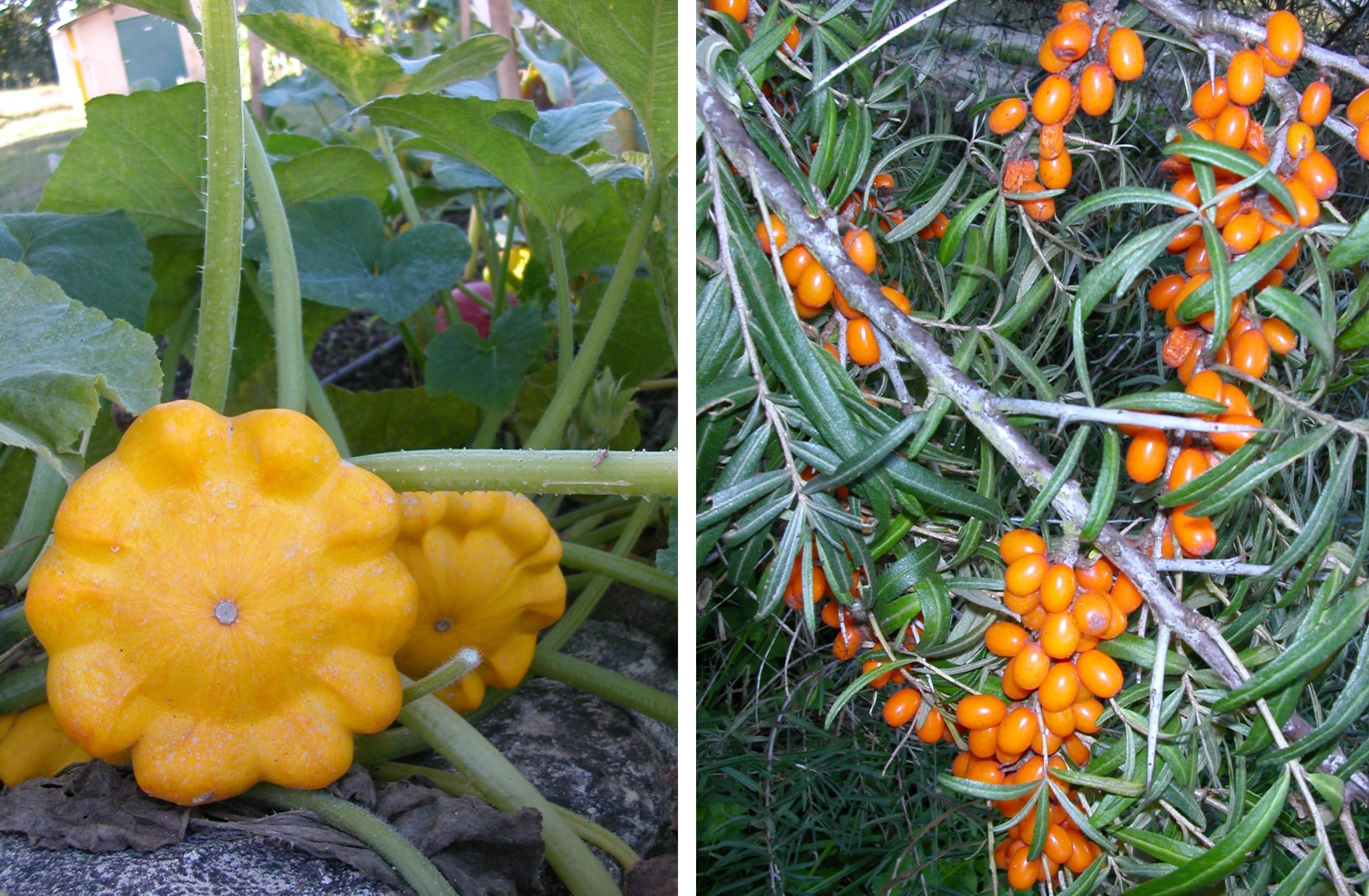 Pâtissons Jaunes - © Oh ! Légumes Oubliés (à gauche) Argousier Branche - © Oh ! Légumes Oubliés (à droite)