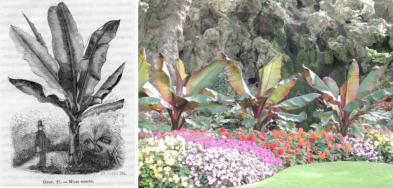 Gravure de Musa ensete par Édouard Andrée et la plante en situation au parc Monceau à Paris - © D. Lejeune