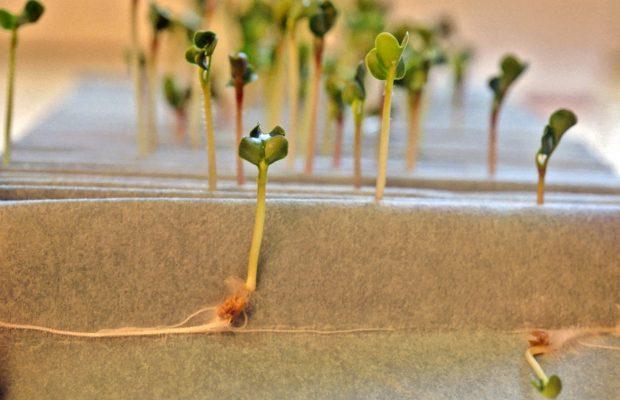 La semence doit être mise dans de bonnes conditions pour germer - © Gnis