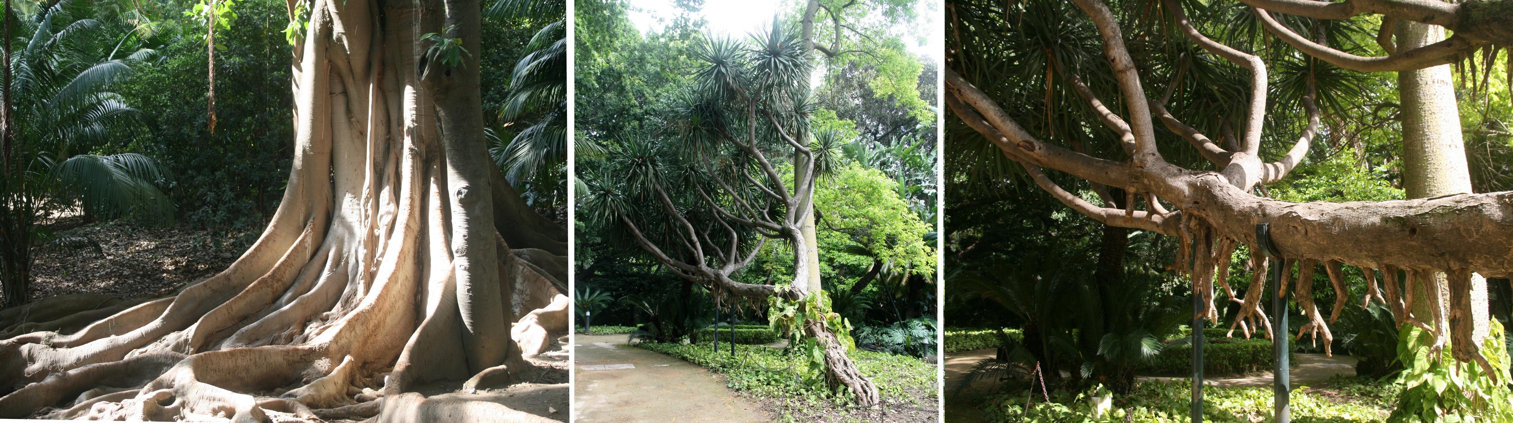 Parmi les arbres remarquables, ce Ficus macrophylla ou ce Dracaena draco L plus que centenaires - © J.-F. Coffin