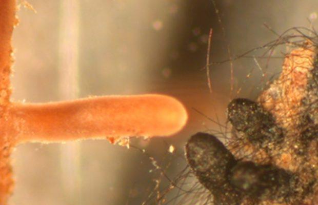 Figure 3 — Deux types morphologiques d'ectomycorhize, formés par des champignons d'espèces différentes avec des racines fines de hêtre. Dans les deux cas, la racine courte est entièrement revêtue d'un manchon constitué de filaments fongiques, mais ce manchon est clair et lisse pour la mycorhize de gauche (formée par une Russule) et noir et hérissé de gros filaments raides à droite (Cenococcum). Échelle : diamètre des racines courtes de l'ordre de 0,5 mm - © Jean-Louis Churin
