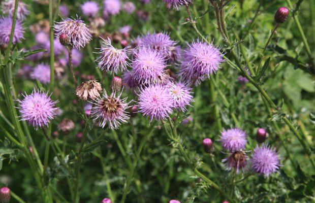 Cirsium arvense, ou chardon des champs, indique un sol plutôt compacté mais sera vite concurrencée - © Frank Vincentz *