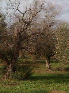 Olivier dans la province de Lecce (Pouilles, Italie), en octobre 2013, présentant des symptômes sévères de déclin rapide du à Xylella fastidiosa. Noter les nombreux rejets à la base du tronc qui sont très contaminés bien qu'encore asymptomatiques - © M.-A. Jacques