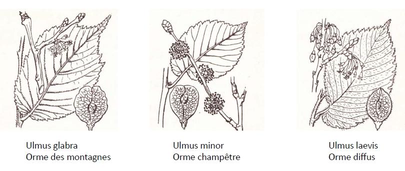 Les ormes sont faciles à reconnaître à partir de leurs feuilles. De gauche à droite : Ulmus minor, orme champêtre ; Ulmus laevis, orme diffus ; Ulmus glabra, orme des montagnes (Flore descriptive de la France, de la Corse et des contrées limitrophes - Abbé Costes, 1900-1906)