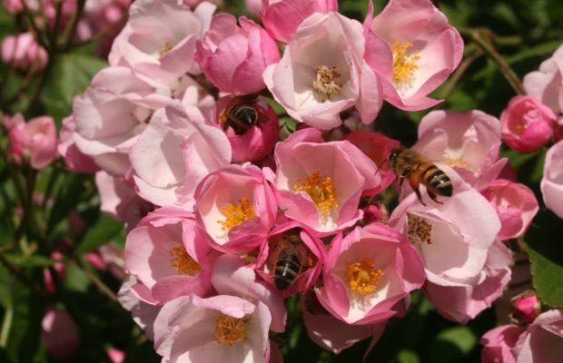 La science a fait de grandes avancées dans la connaissance des mécanismes du parfum des roses