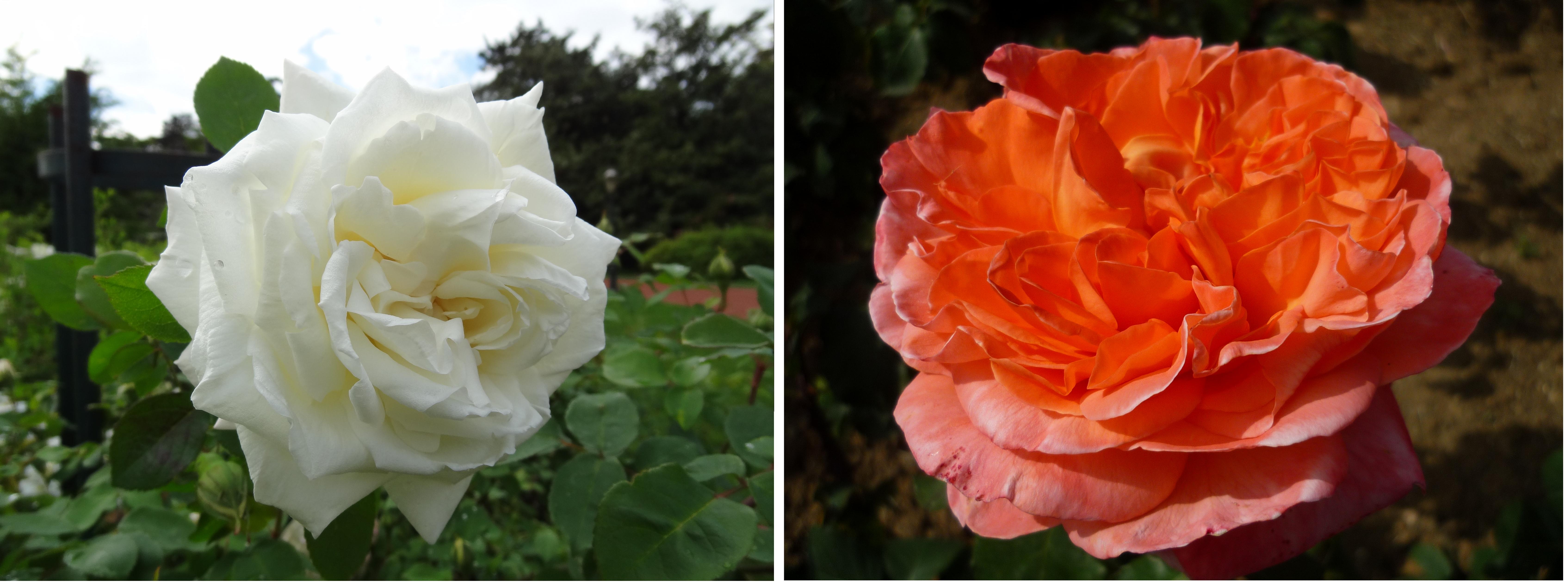 Exemples de deux roses d'obtenteurs lyonnais