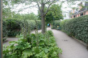 Un exemple de végétation choisie par les jardiniers : des acanthes dont la floraison interpelle les promeneurs.