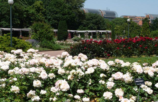 La rose Johann Strauss Meilland mise en massif dans la roseraie