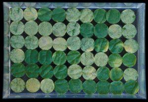 Tests de résistance du melon à l'oïdium : sur jeunes plantes (en haut) et sur disques de feuilles en survie