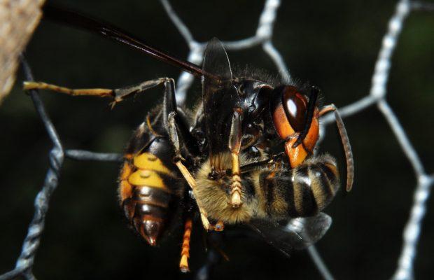 Ouvrière de Vespa velutina découpant une abeille domestique.