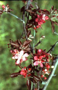 Génotype RR: feuilles et fleurs de couleur rouge