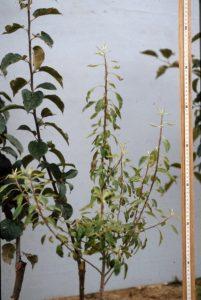 En pépinière, phénotype du plant haploïde (r) vert clair, à côté de plants diploïdes (rr) vert foncé