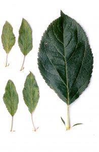 feuilles petites et étroites du plant haploïde (r) comparées à la feuille d'un plant diploïde (rr)