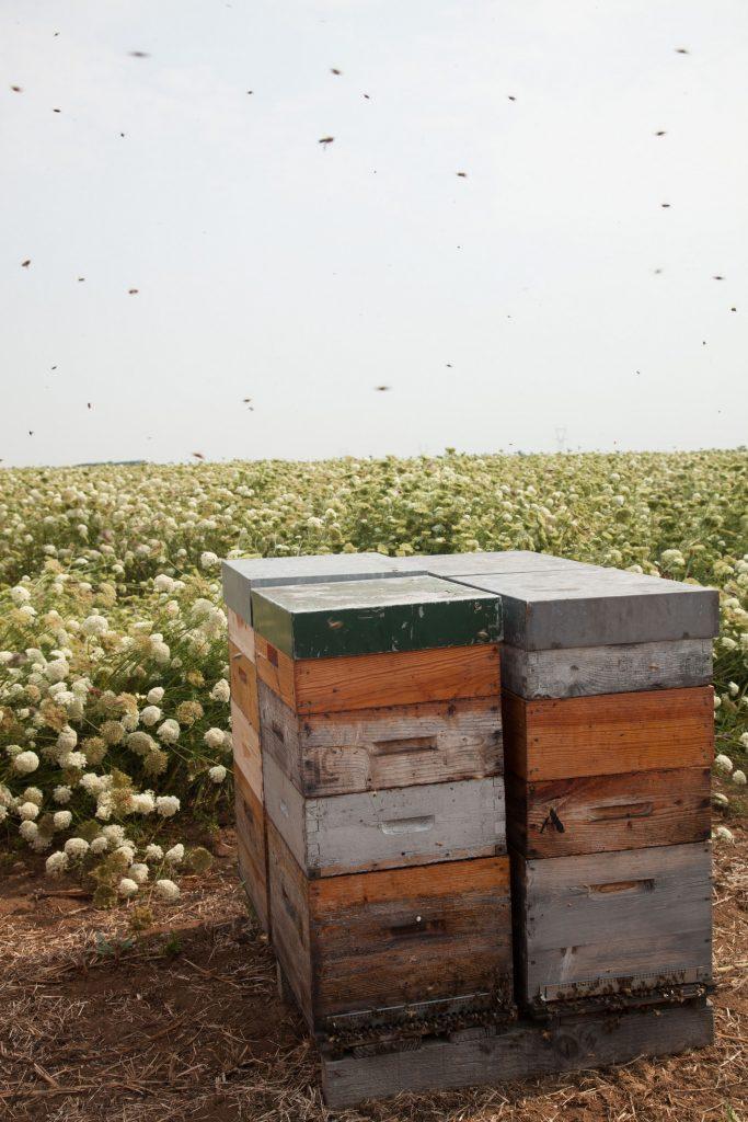 Les agriculteurs- multiplicateurs disposent des ruches dans leurs champs de multiplication de semences pour faciliter, comme, ici, la fécondation des fleurs de carottes - © Gnis