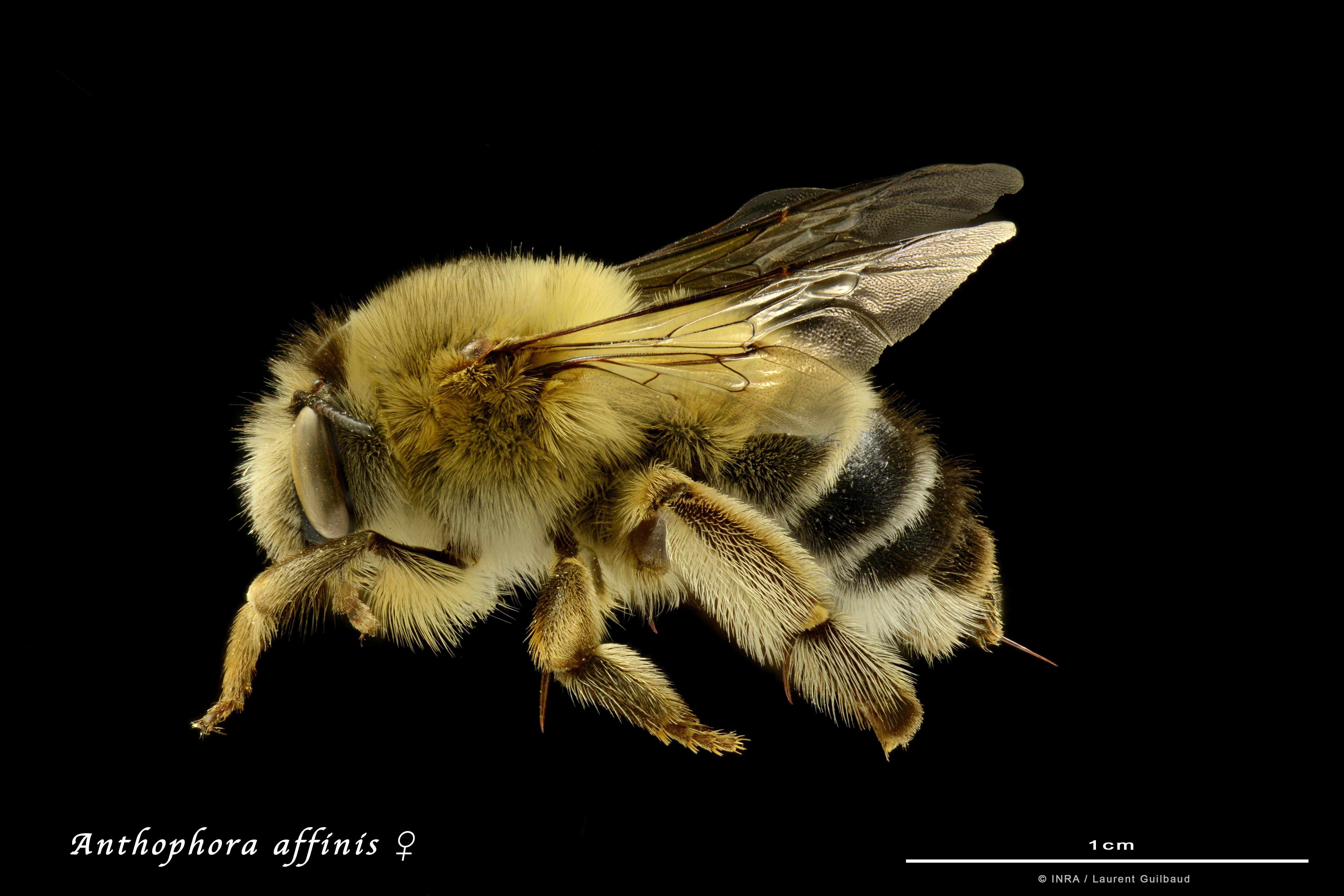 ne magnifique abeille sauvage de la famille des Apidées