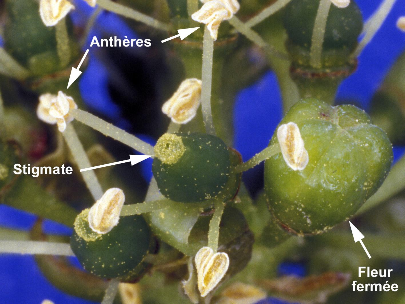 Ouverture des fleurs de vigne au moment de la floraiso