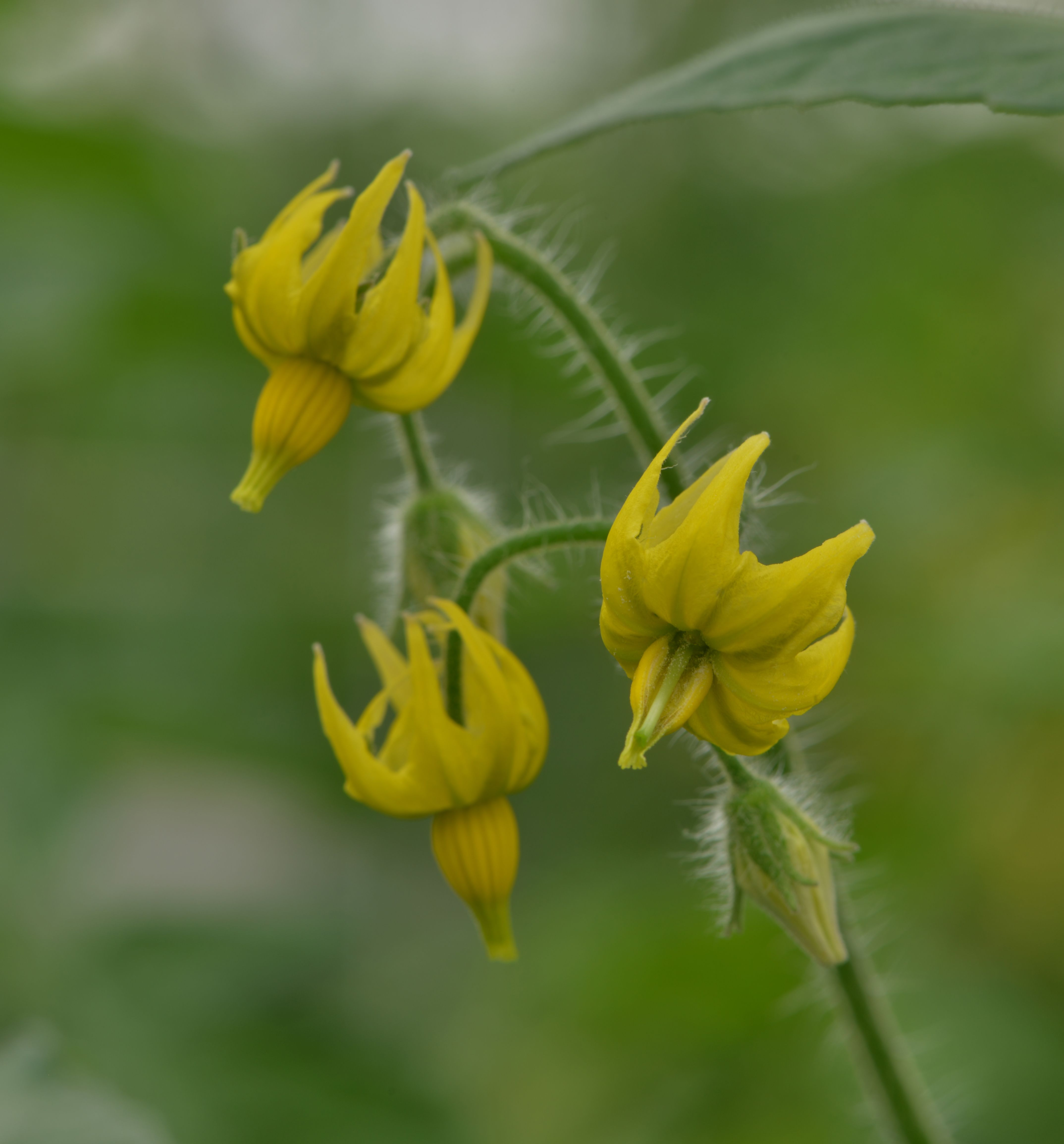 Fleur de tomate cultivée