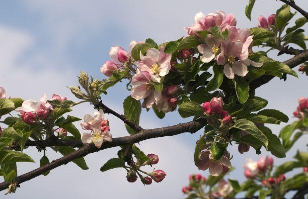 Fleurs de pommier a cidre a Magny les Hameaux 78.