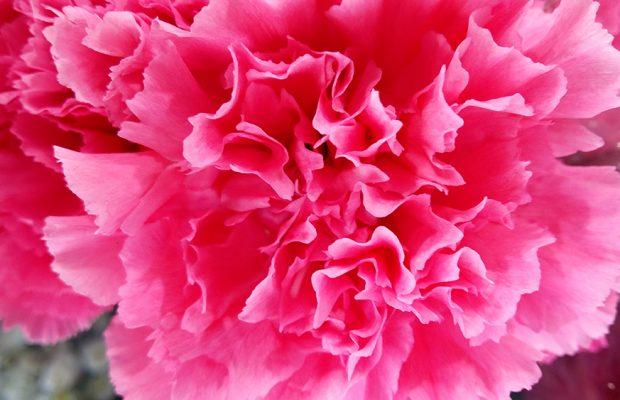 œillet rose