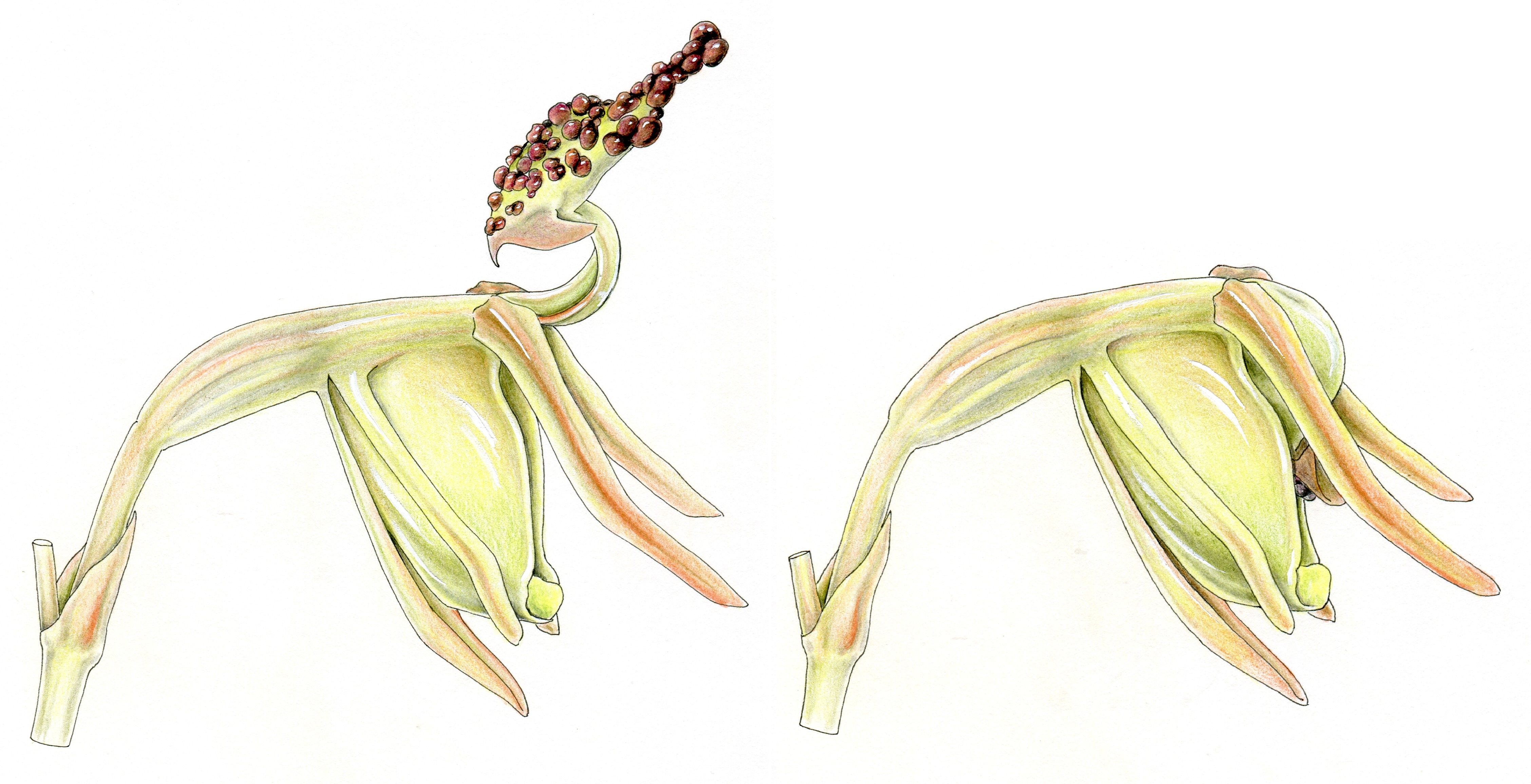 Paracaleana minor