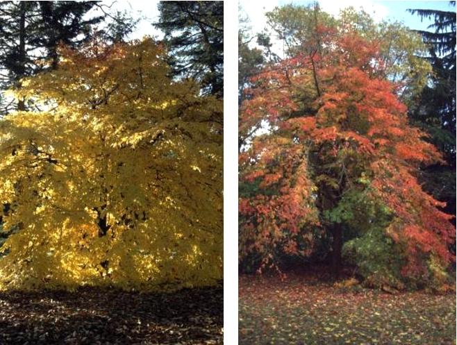 En automne, des couleurs qui virent au jaune, à l'orangé, au rouge, voire rouge écarlate