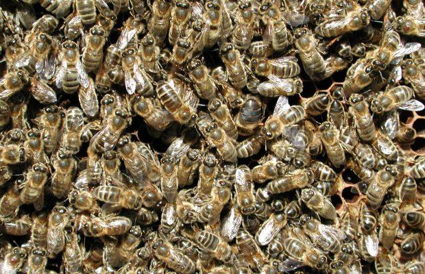 abeilles-cadre