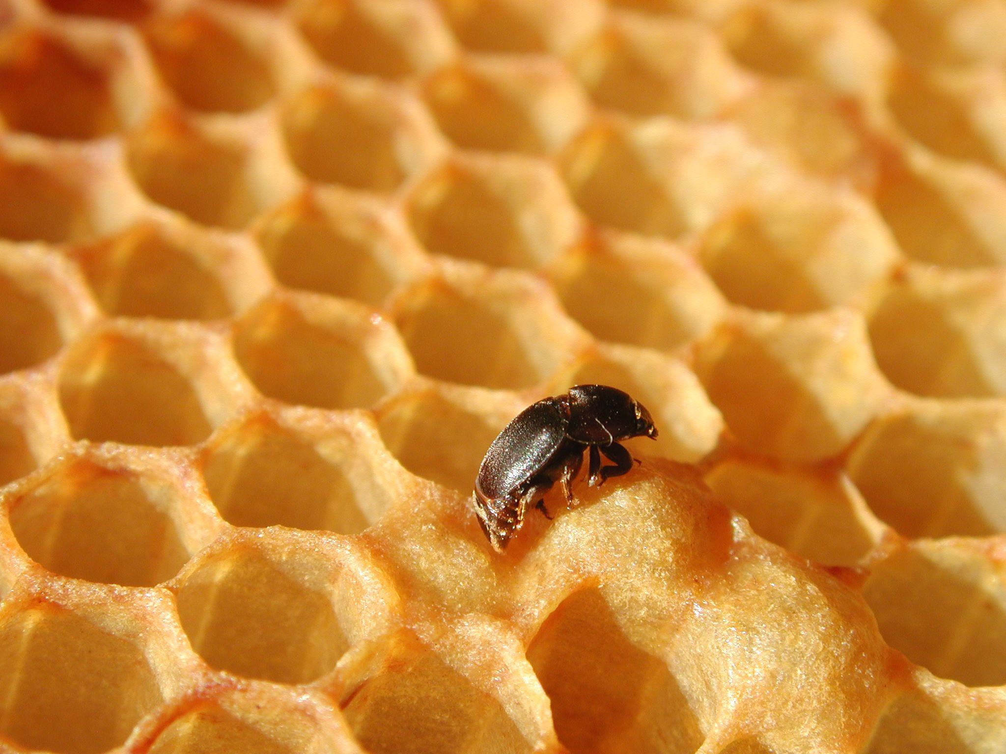 petit coléoptère des ruches, Aethina tumida,