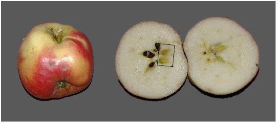 De la pollinisation la formation des graines et des fruits jardins de france - Graine de pasteque sans pepin ...