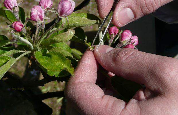 Figure 1. Castration manuelle d'une fleur de pommier avant pollinisation contrôlée - © INRA