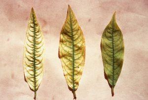 Carence en fer du pêcher. Trois feuilles montrant trois degrés de gravité différente de la chlorose - © M. Coppenet – Inra
