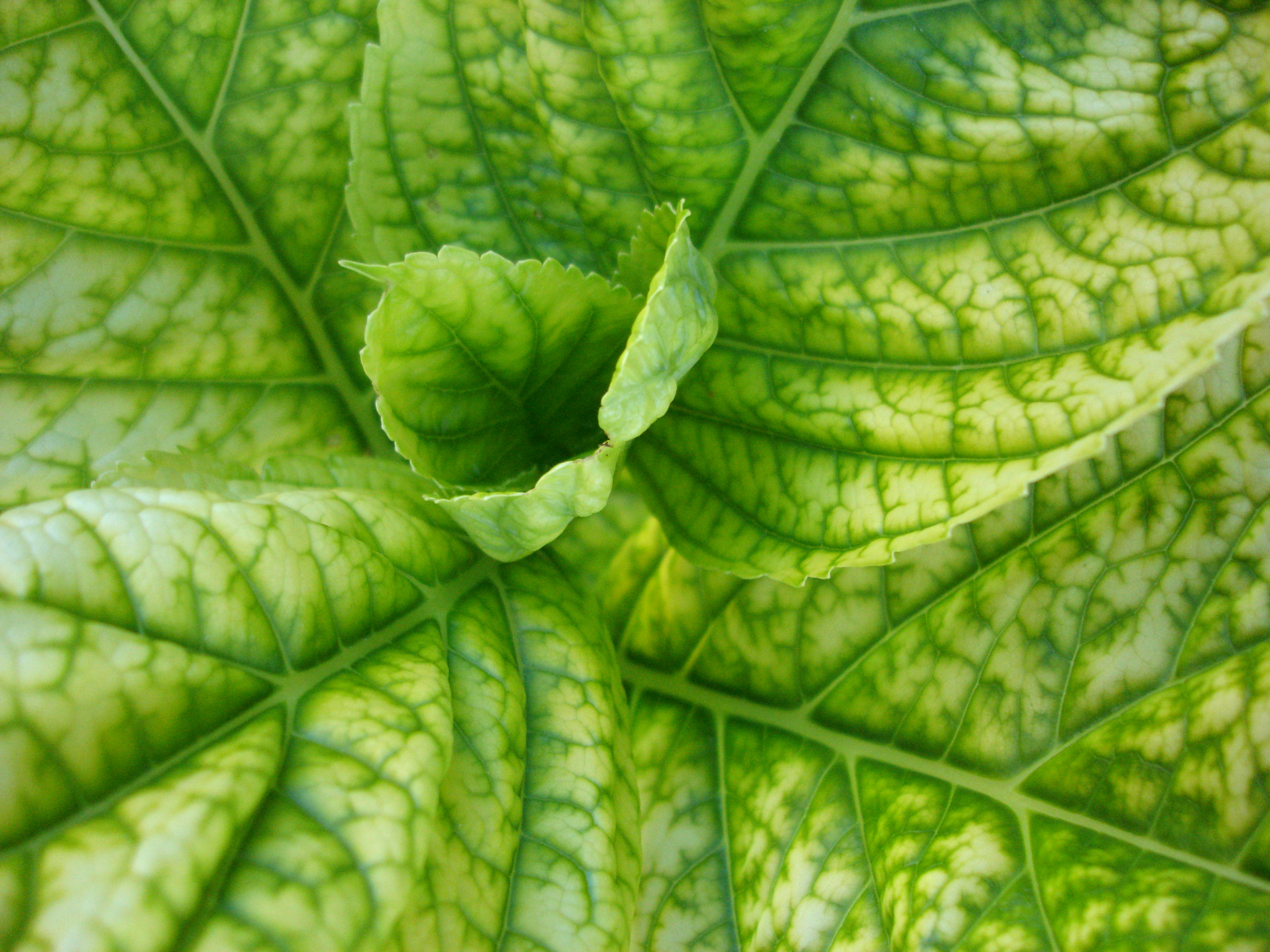 Carence ferrique sur feuille d'hortensia - © Florence Carreras - Inra