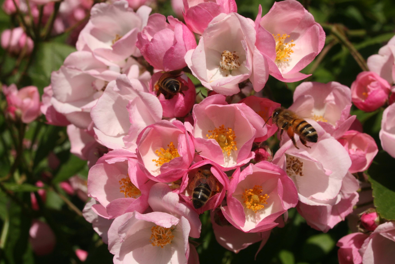 Pour avoir de beaux rosiers, vérifiez que leur porte-greffe est adapté au sol de votre jardin - © J.-F. Coffin